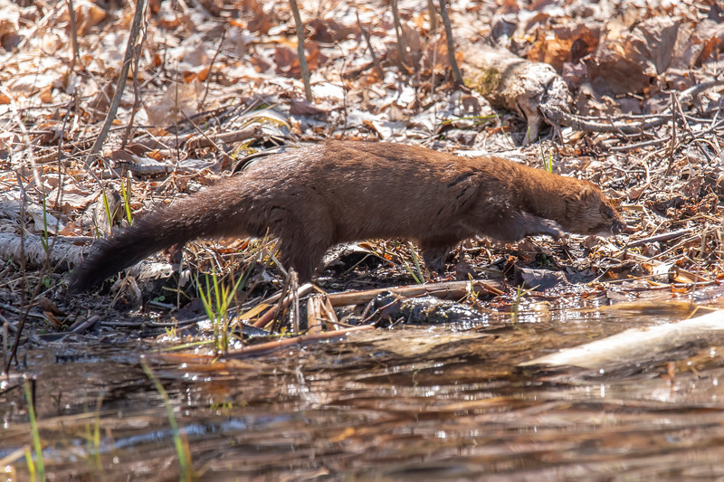 This photo shows how long and thin a mink is.  It has short legs and a long tail.