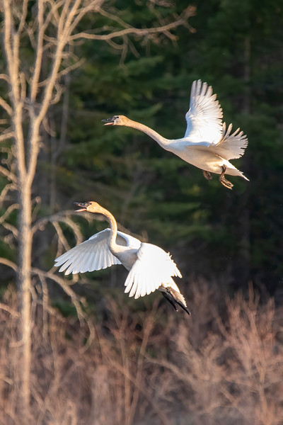 When the Swans took off, I managed to get a flight shot of two of them.