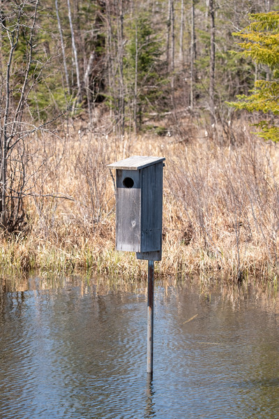 We also put out a Wood Duck box.  We have had Wood Ducks use it, but more often we seem to get Hooded Mergansers.  They need the same size entrance hole as Wood Ducks do.  Several mornings I've seen a male Hooded Merganser swimming near the box, so I suspect the female was inside laying an egg.