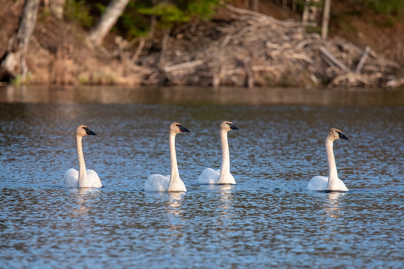We've had as many as six Trumpeter Swans feeding on our lake this year.  Today there were four of them.