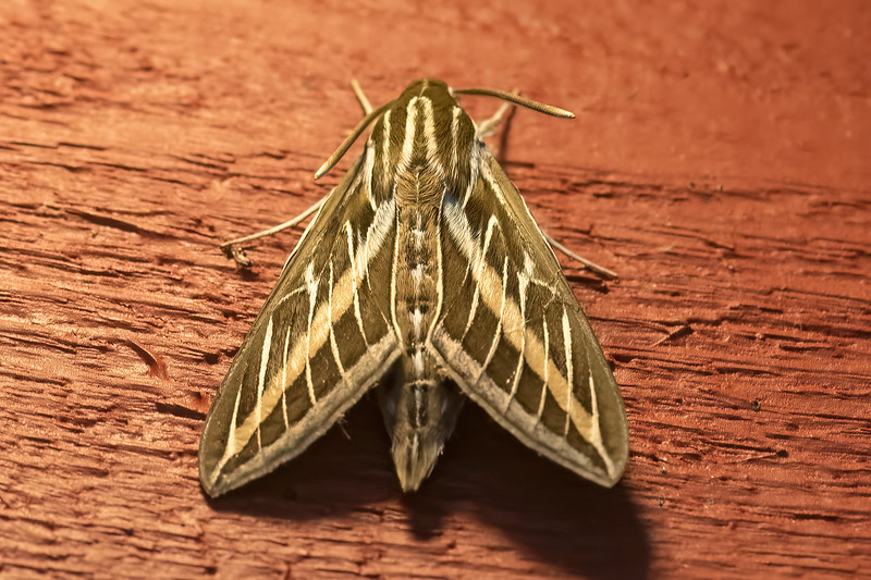I usually take photos of moths at night when they are attracted to a light.  But this White-lined Sphinx Moth was out during the middle of the day.  It was perched on the outside wall at the Northwoods Pioneer Gallery and Gifts store along Highway 61.