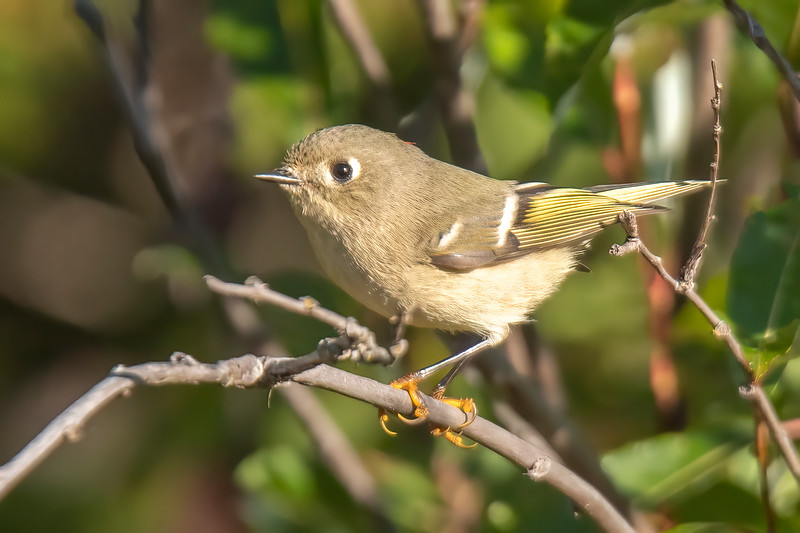 I like to drive along some of the back roads looking for birds.  This Ruby-crowned Kinglet was one of many I saw along the East General Grade Road.  Notice the yellow feet.