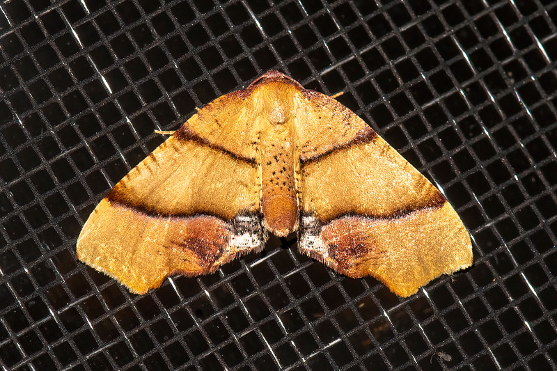 Straight-lined Plagodis is the name of this moth.  It has a wingspan of about one inch.  Its caterpillar also feeds on the leaves of many different kinds of forest trees.