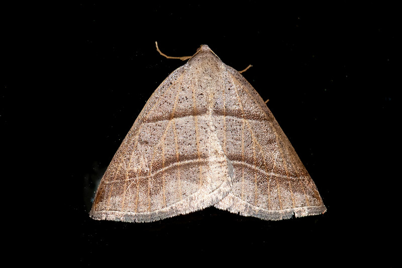 Here's another small moth with two lines crossing its wings.  This is a Northern Petrophora.  It has a wingspan of only ¾ inch.  Its caterpillar feeds on ferns.