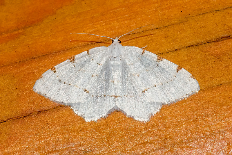 The Lesser Maple Spanworm is aptly named because its caterpillar feeds mostly on Maple leaves.  The moth has a wingspan of ¾ to 1 inch.  It has white wings with brown markings.  On some individuals, only the four spots along the outer edges of the wings are present.  On others, almost complete lines go across the wings.