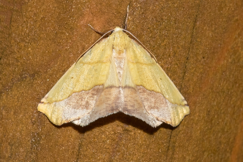 The large brown patches on its yellow wings make a Sharp-lined Yellow moth look like a wilting leaf.  It has a wingspan of 1 to 1¼ inches.  As is common with many moths, its caterpillar feeds on the leaves of many shrubs and deciduous trees.