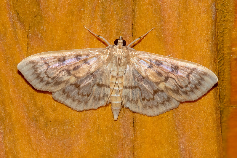 Here's the second group of the most interesting moths I photographed this summer.<br /> <br /> Spots, circles, curved lines, and squiggly lines decorate the wings of a Bold-feathered Grass Moth.  It has a wingspan of slightly more than one inch.  Its caterpillar is part of a group often referred to as grass or sod webworms.  Low lying plants, including violets, are food for the caterpillar.