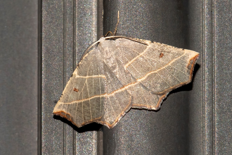 The Pale Metanema is another small moth with a wingspan of 1 to 1.4 inches.  Identifying features include the two pale lines crossing its wings and the small brown spots on each fore wing.  The brown patches at the end of the wings make it look like they have been singed.  Its caterpillar feeds on forest trees, especially Aspen and Poplar.