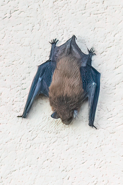 I was looking out a window of our apartment in the Twin Cities and saw a dark spot on the wall of the building across the courtyard.  I used my binoculars and discovered it was a bat.  It's unusual to see a bat perched right out in the open during the day.  Even though it was a long distance away, I decided to take a photo and see what I could get.  This is a heavily cropped photo, but it still turned out pretty well. I have no idea what kind of bat this is, so I would be grateful for any ID help I can get.