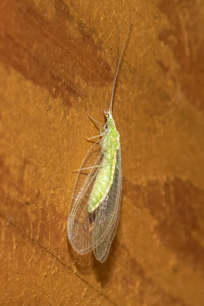 Green Lacewing is another common insect attracted to the light.