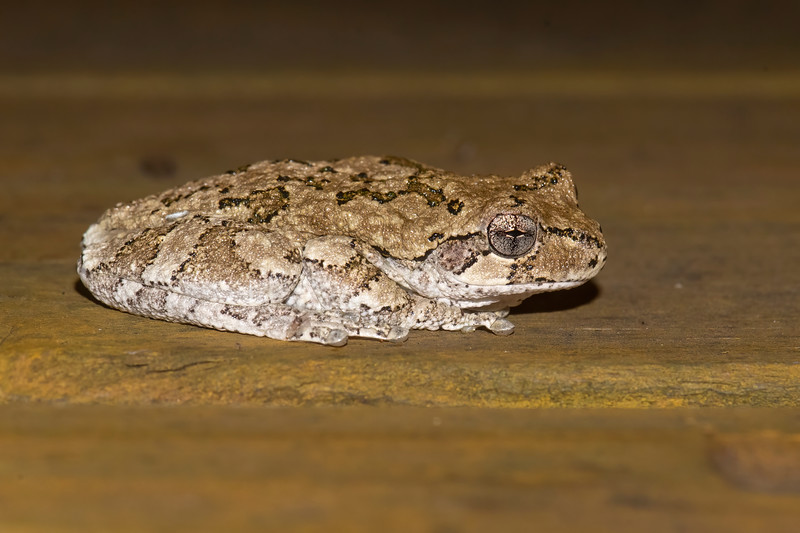 Here's another Gray Tree Frog.  I found it on our deck when I was out at night looking for moths.  It has changed its color to brown to match the color of the deck.