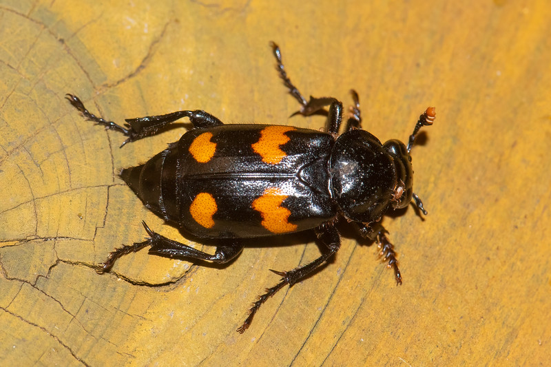 """I mentioned in an earlier posting that I often see other insects besides moths when I leave our porch light on at night.  This Roundneck Sexton Beetle showed up at the end of June.  It's not very big, just ⅝″ to ⅞″ long.  I found the following description of their unappetizing diet at Minnesotaseasons.com. """"Adults feed mostly on the feces of carnivores, including humans, but also on carrion, maggots, and rotting fruit."""""""