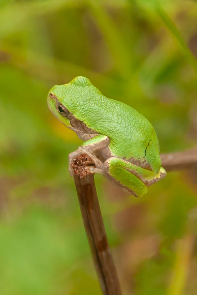 """The scientific name for a Gray Tree Frog is Hyla versicolor which comes from the Latin words for variable color.  That's why this """"Gray"""" Tree Frog is green; it can change its color to match its surroundings."""