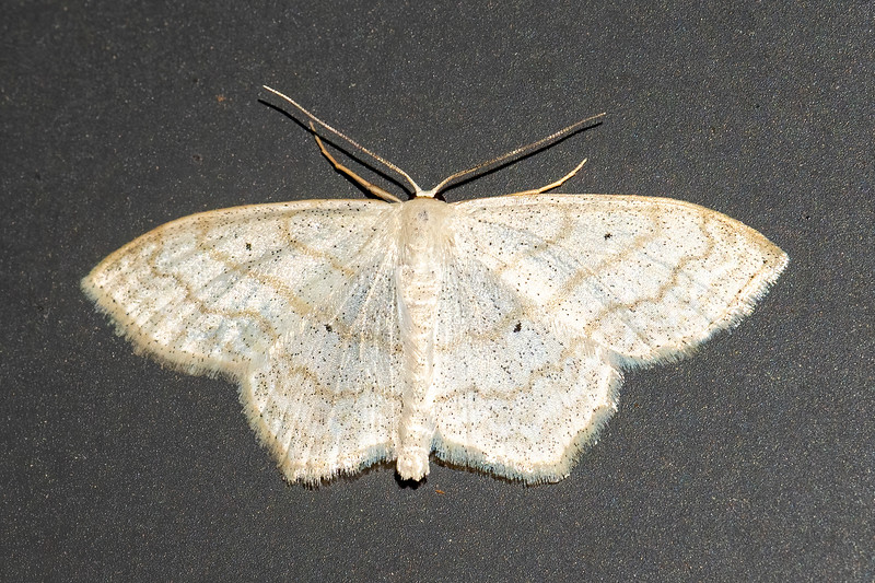 This moth is called a Soft-lined Wave.  It does have several soft, wavy lines that extend across all four wings.  It has a wingspan of ¾ to 1 inch.  Its caterpillars feed on aster, clover, dandelion, ragweed, and sweet clover.