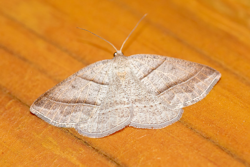 One of the identifying features of the Northern Petrophora moth is the two lines that go all across both forewings but don't appear on the hind wings.  It has a wingspan of about 1¼ inches.  Its caterpillar eats ferns.
