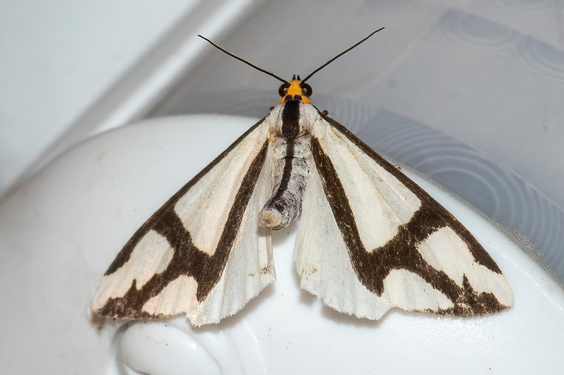 This boldly striped moth is called The Neighbor, but I wasn't able to find out how it got that name.  It has a wingspan of 1½ to 2 inches.  Bugguide.net says it feeds on Hazel and probably many other plants.