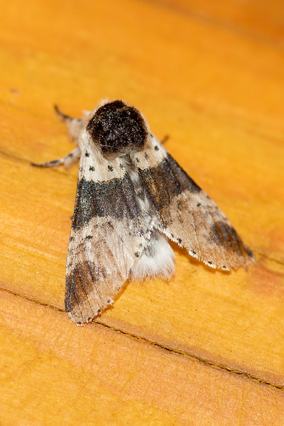 A Modest Furcula moth has four large dark patches on its wings and a series of small black dots.  It has a wingspan of about 1½ inches.  It is found all across southern Canada and the northern United States.  In the west, its range extends to California and Arizona.