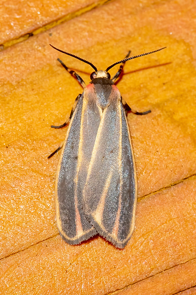 """The Painted Lichen Moth has a splash of pink on it's """"shoulders.""""  True to its name, the caterpillar feeds on lichens, algae, and moss on trees.  It has a wingspan of 1 to 1.4 inches."""