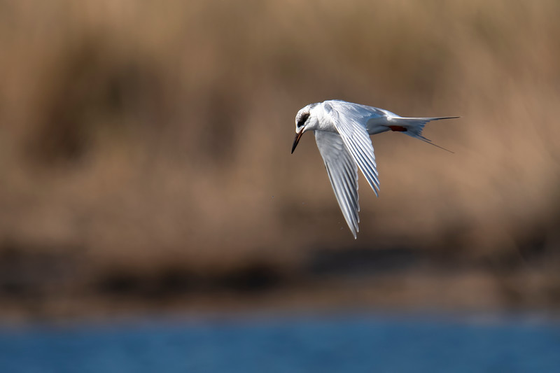 The winter plumage of the Forster's Tern includes a black mask over each eye.  When it molts into its breeding plumage, it will have a solid black cap that extends down the back of the neck.  Its beak also turns orange and has a black tip.  It can be seen flying low over the water, then hovering, before plunging in to catch a small fish.