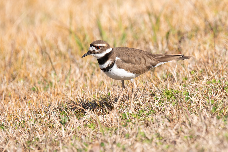 Here are some more photos taken during my recent visit to St. Marks NWR.  <br /> <br /> The Killdeer is a 10½ inch shorebird, but it spends most of its time away from water.  It can be found year-round in the southern half of the United States.  During the summer, it nests over almost all of North America.