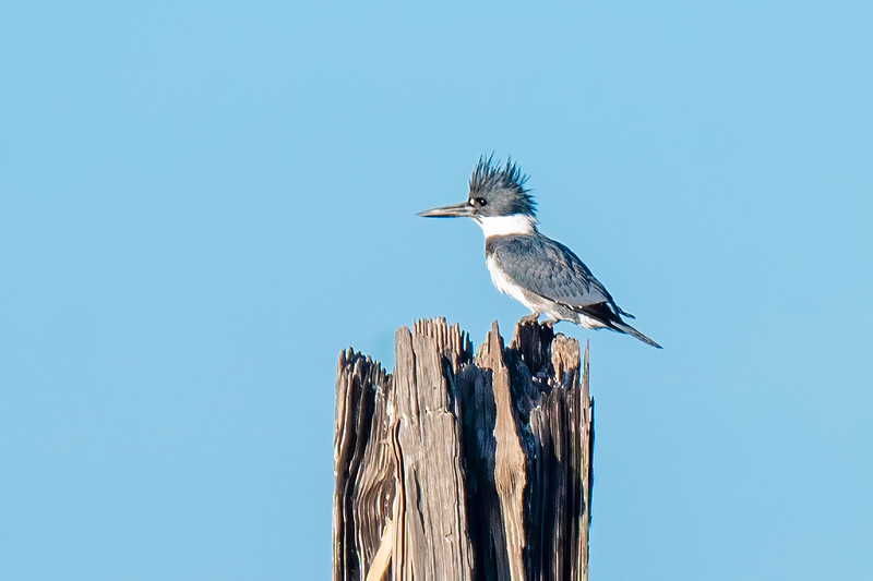 Belted Kingfishers are notoriously hard to approach so I was happy to get this close to one sitting on an old piling near the lighthouse.  This appears to be a male because a female would have a rusty band across her chest.