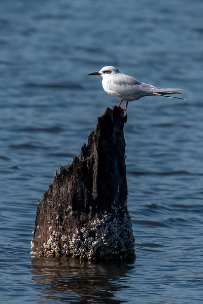 This Forster's Tern landed on a picturesque stump, so I had to take a photo of that.