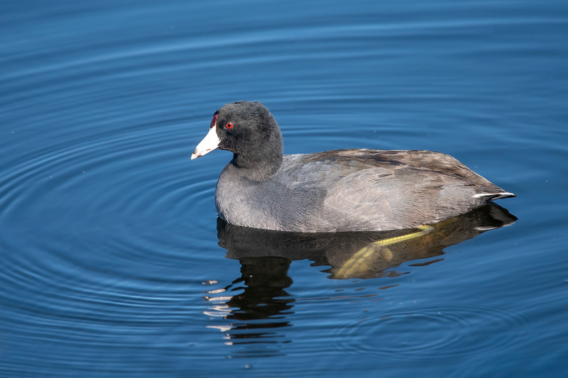 A common bird at St. Marks is the American Coot.  It's a chicken-size bird with plain gray and black plumage.  Accent colors include a snow-white beak with a partial ring around the tip, a red frontal shield on its forehead, and bright red eyes.  It has large lobed feet; one of them is visible in this photo.