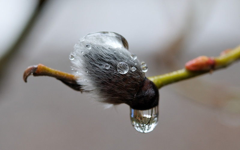 wet pussy willow