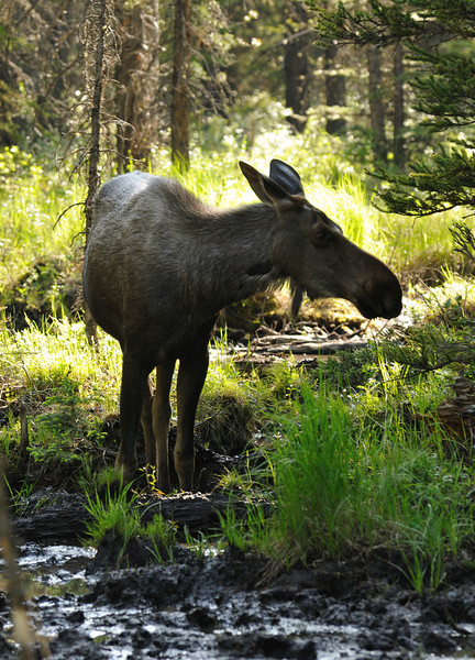 Moose - Peter Lougheed Provincial Park
