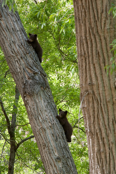 Black bear cubs, Bandelier National Monument
