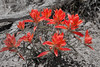 Indian Paint Brush, Kasha-Katuwe Tent Rocks National Monument