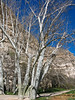 Arizona sycamore trees along Beaver Creek at Montezuma's Castle National Monument