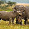 White Rhinoceros or Square-lipped rhinoceros family (Ceratotherium simum) in Lake Nakuru national park