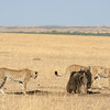 Three cheetahs and one wildebeast in the plains of Masai Mara