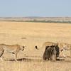 Three cheetahs and one wildebeast in the plains of Masai Mara