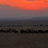 Wildebeest (or wildebeest, wildebeests or wildebai, gnu) on the run in Masai Mara, Kenya, Africa
