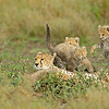 Cheetah family in a playful mood in the grasslands of Ndutu in Ngorongoro conservation area in north Tanzania, Africa