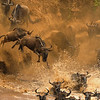 Wildebeast or Gnu herds crossing the Mara river during the annual migration in Masai Mara, Kenya, Africa