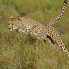 Charging Cheetah in the grasslands of Ndutu in Ngorongoro conservation area in north Tanzania, Africa