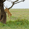 Lioness jumping down from a tree in Ndutu in Ngorongoro conservation area in north Tanzania