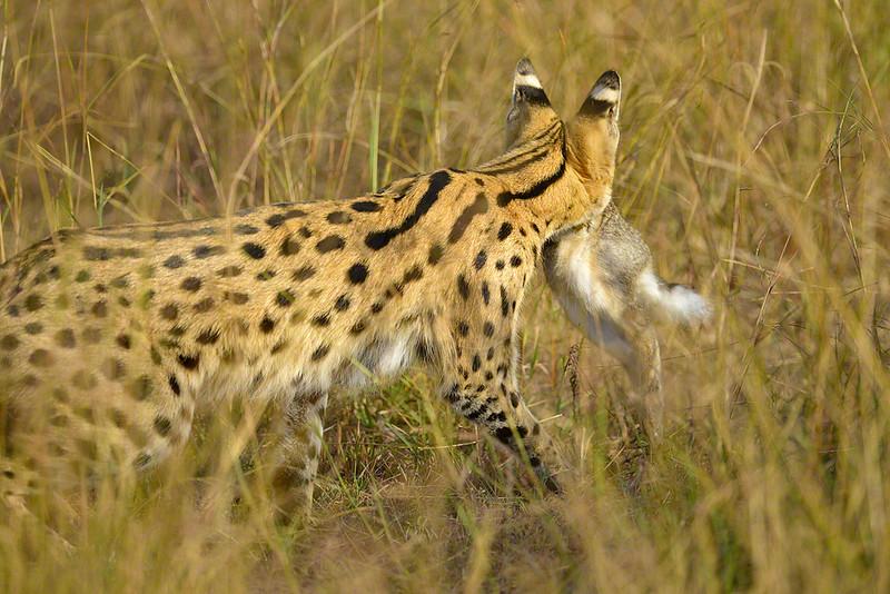 Hunting-Serval