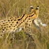 Hunting-Serval