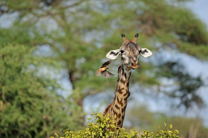 Masai Giraffe grazing in the Tarangire national park in north Tanzania