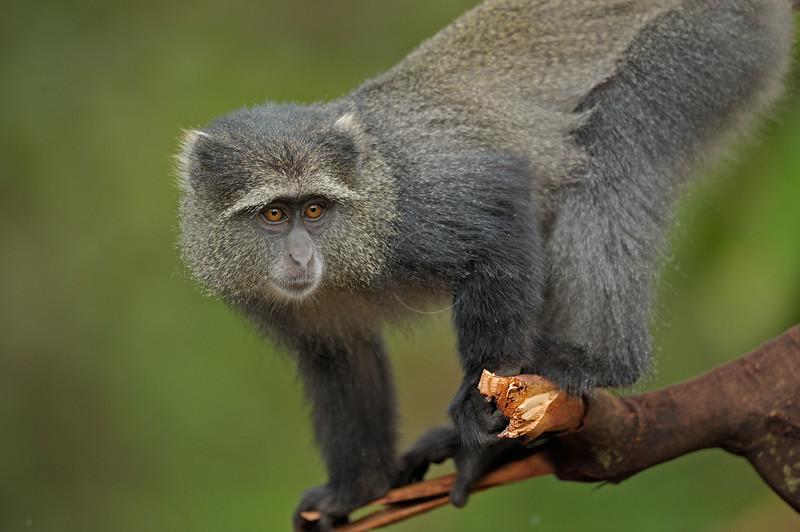 Blue monkey or diademed monkey (Cercopithecus mitis) in Lake Manyara national park in north Tanzania
