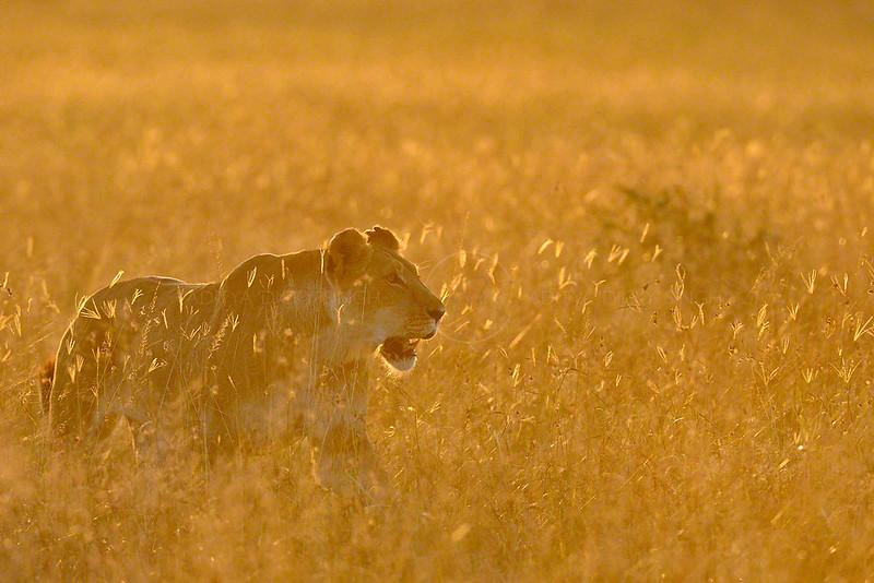 Lioness-at-sunrise