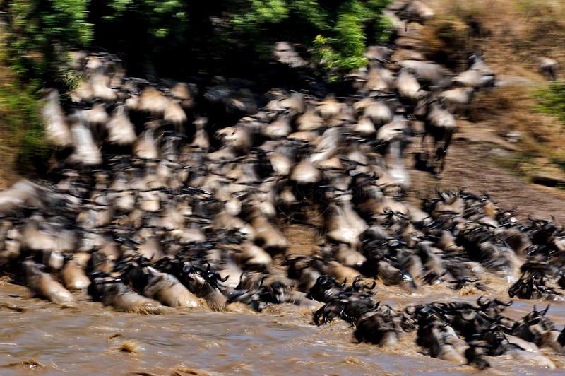 Wildebeest (or wildebeest, wildebeests or wildebai, gnu) herds crossing the Mara river in Masai Mara, Kenya, Africa