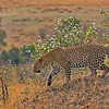 African Leopard (Panthera pardus pardus) walking in the grasslands of Masai Mara in Kenya, Africa