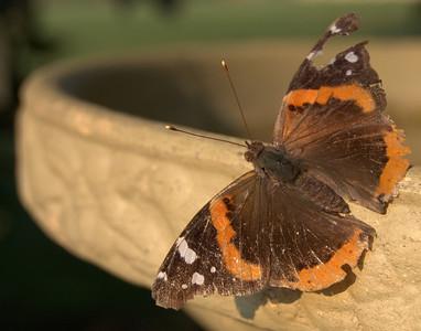 Buttefly on a birdbath