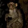 Rhesus Macaque (Macaca mulatta) on a tree in the rain at night
