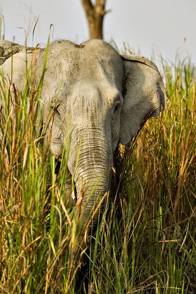 Elephant head coming out of elephant grass